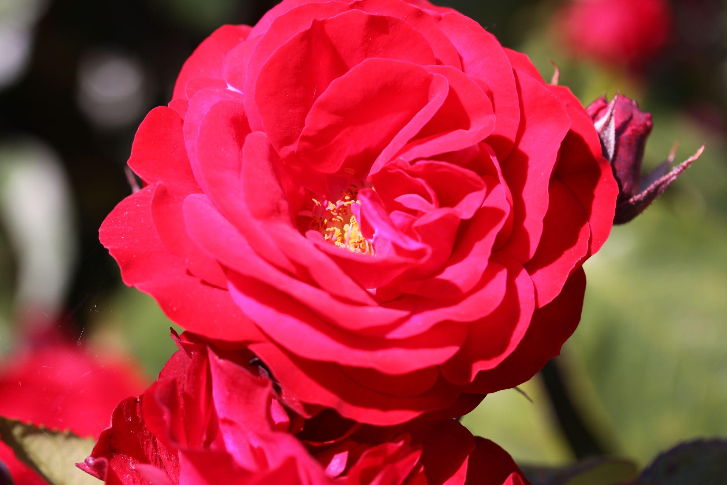 Rose_2019_7.jpg