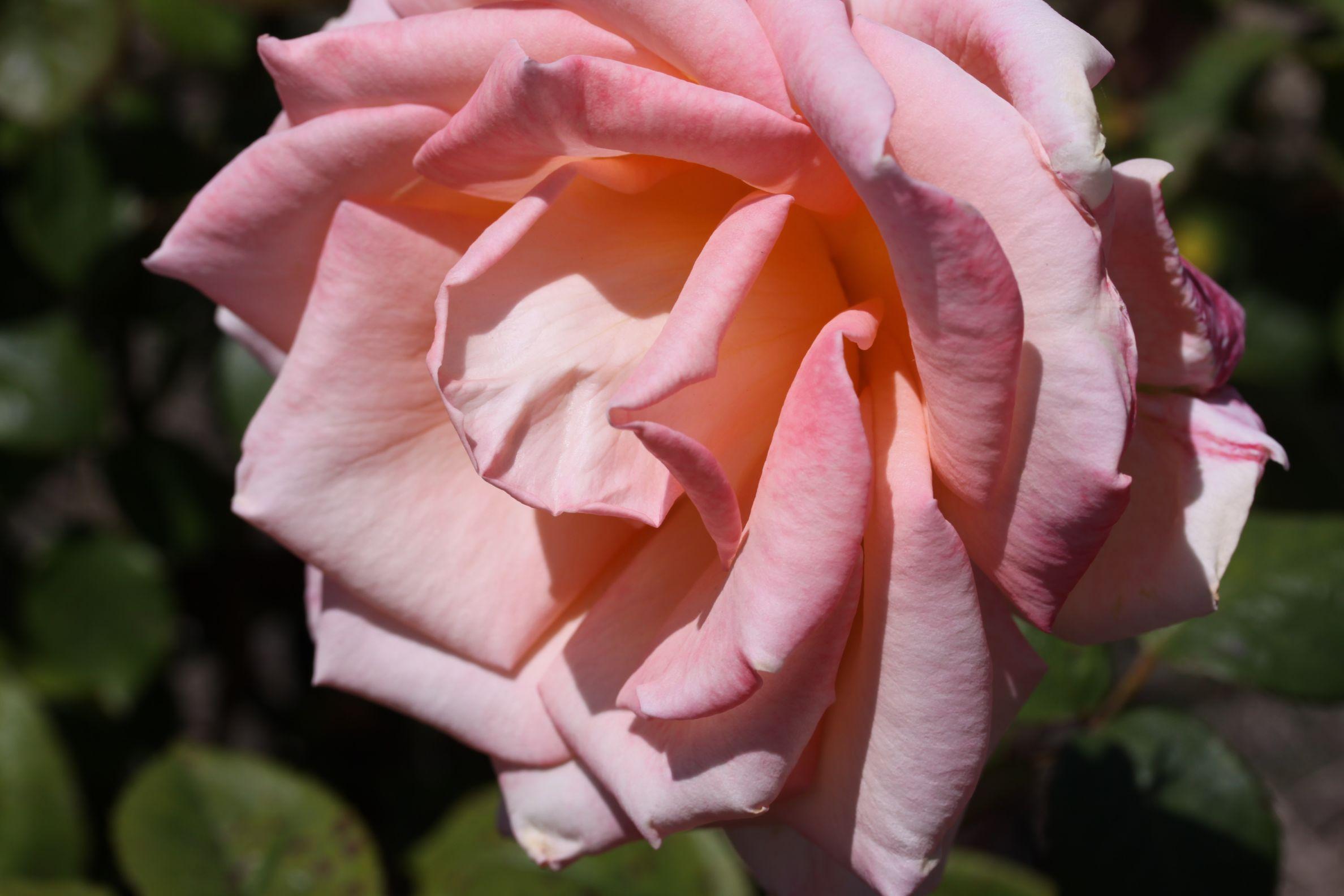 Rose_2019_10.jpg