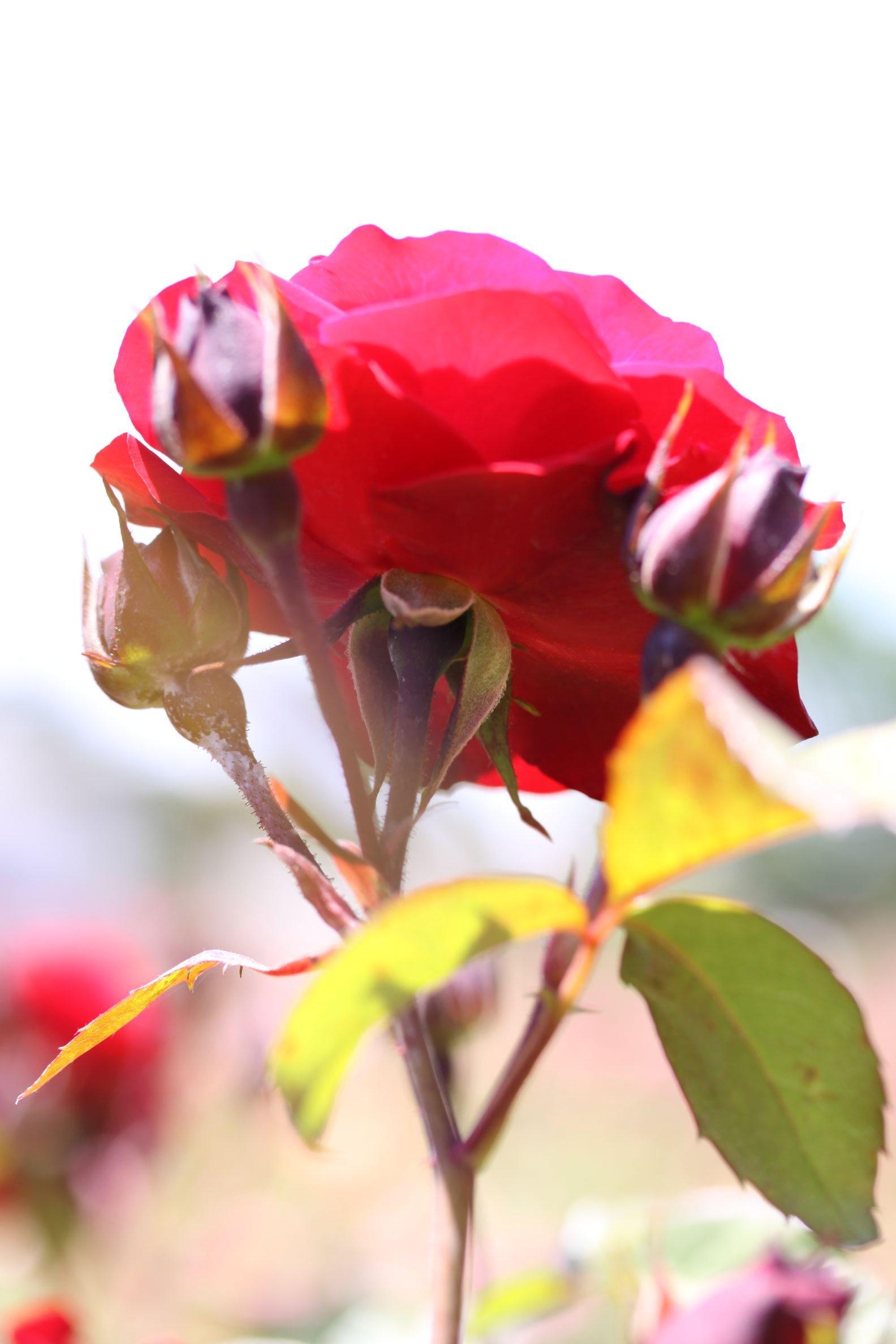 Rose_2019_5.JPG