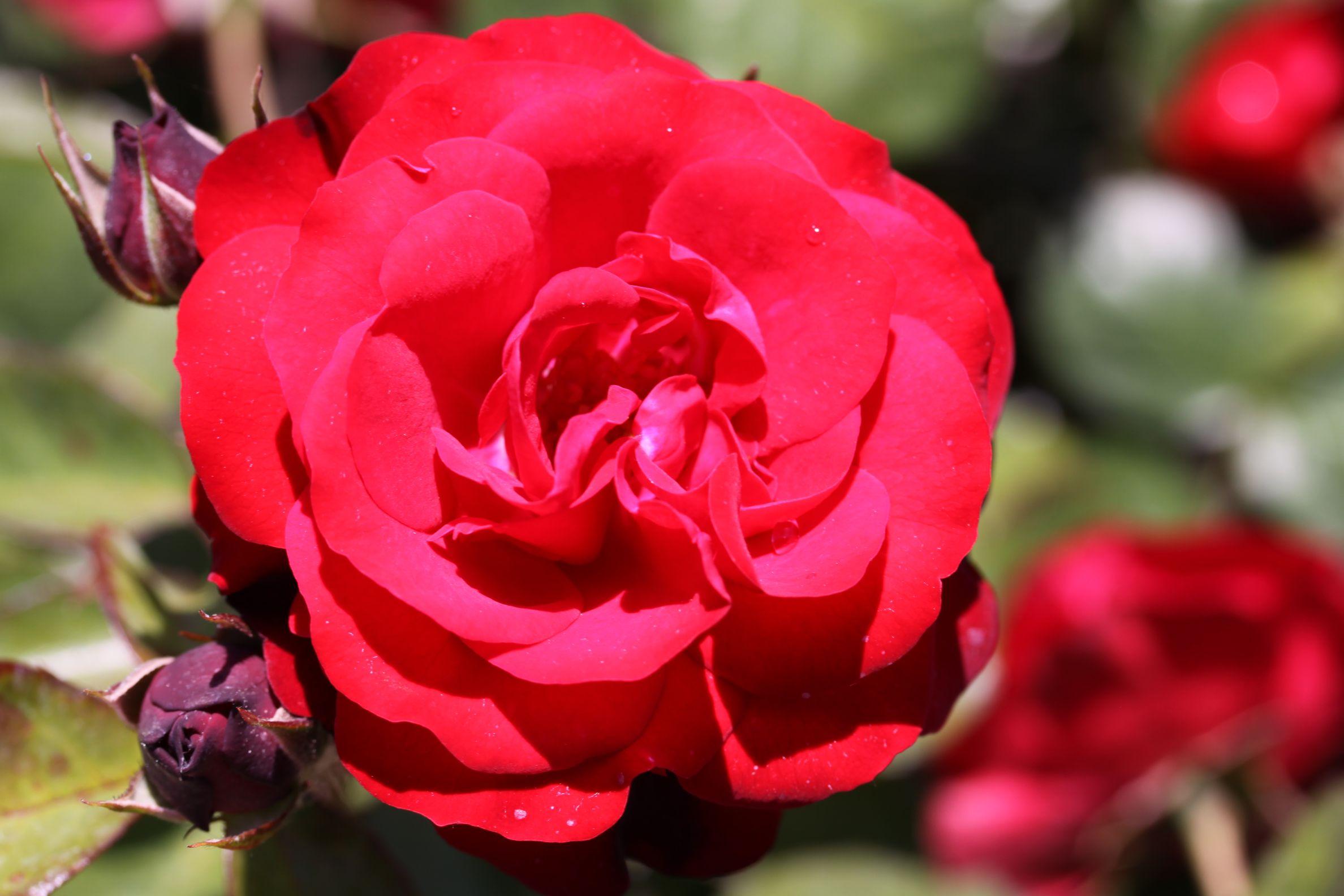 Rose_2019_11.jpg