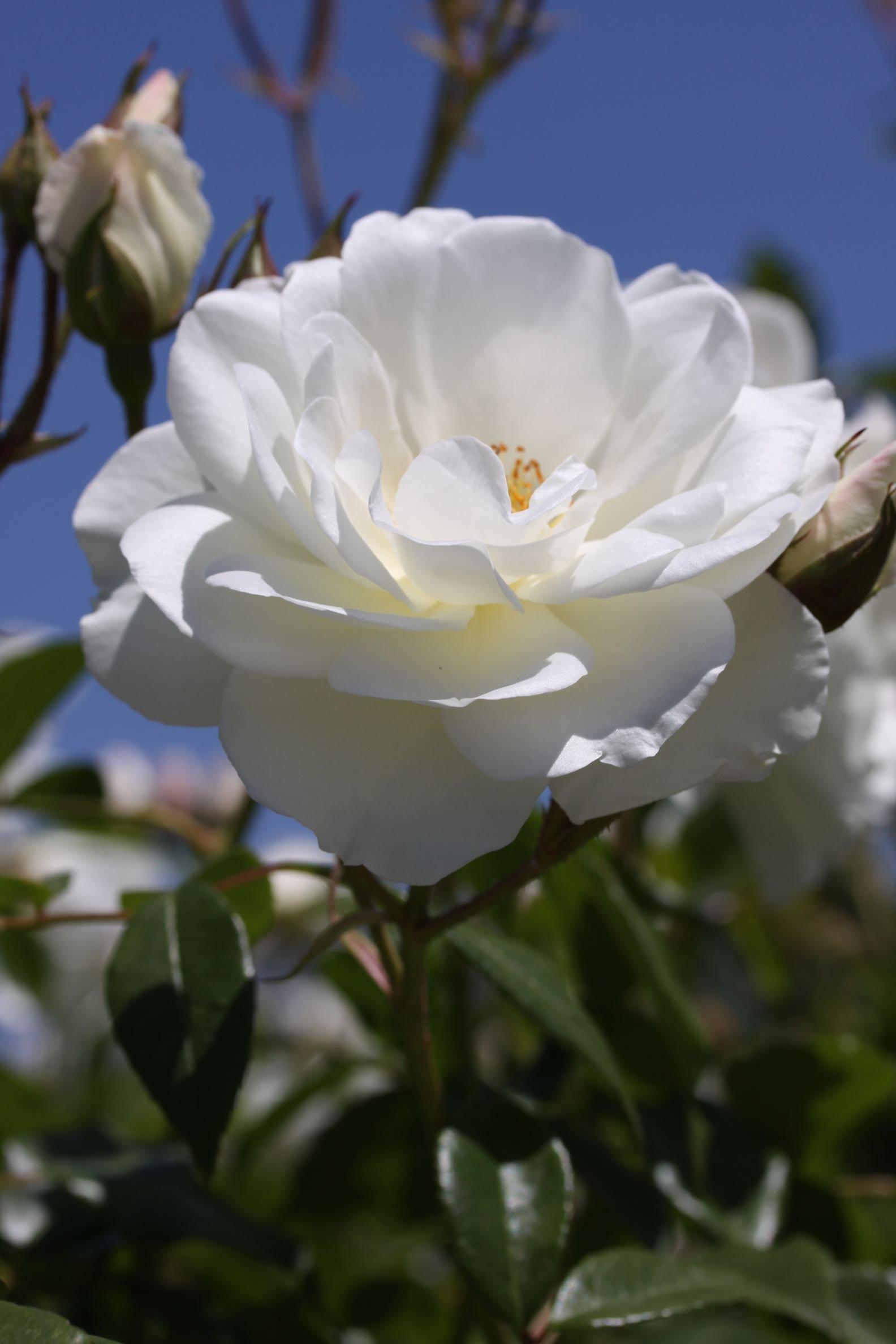 Rose_2019_3.JPG