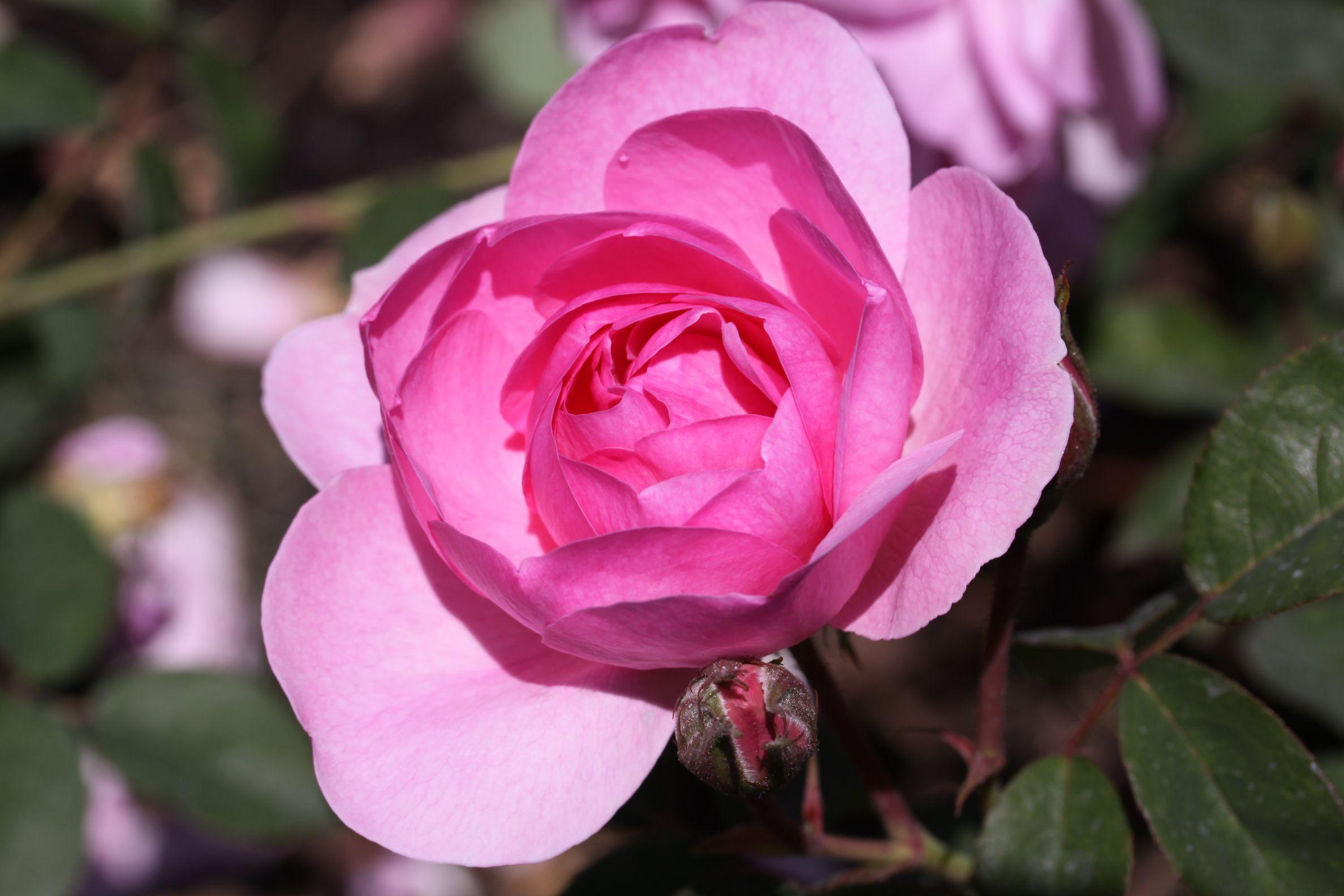 Rose_2019_16.jpg