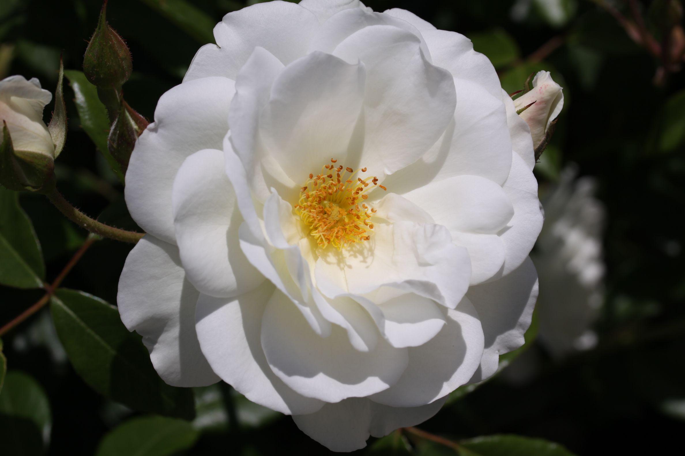 Rose_2019_8.jpg
