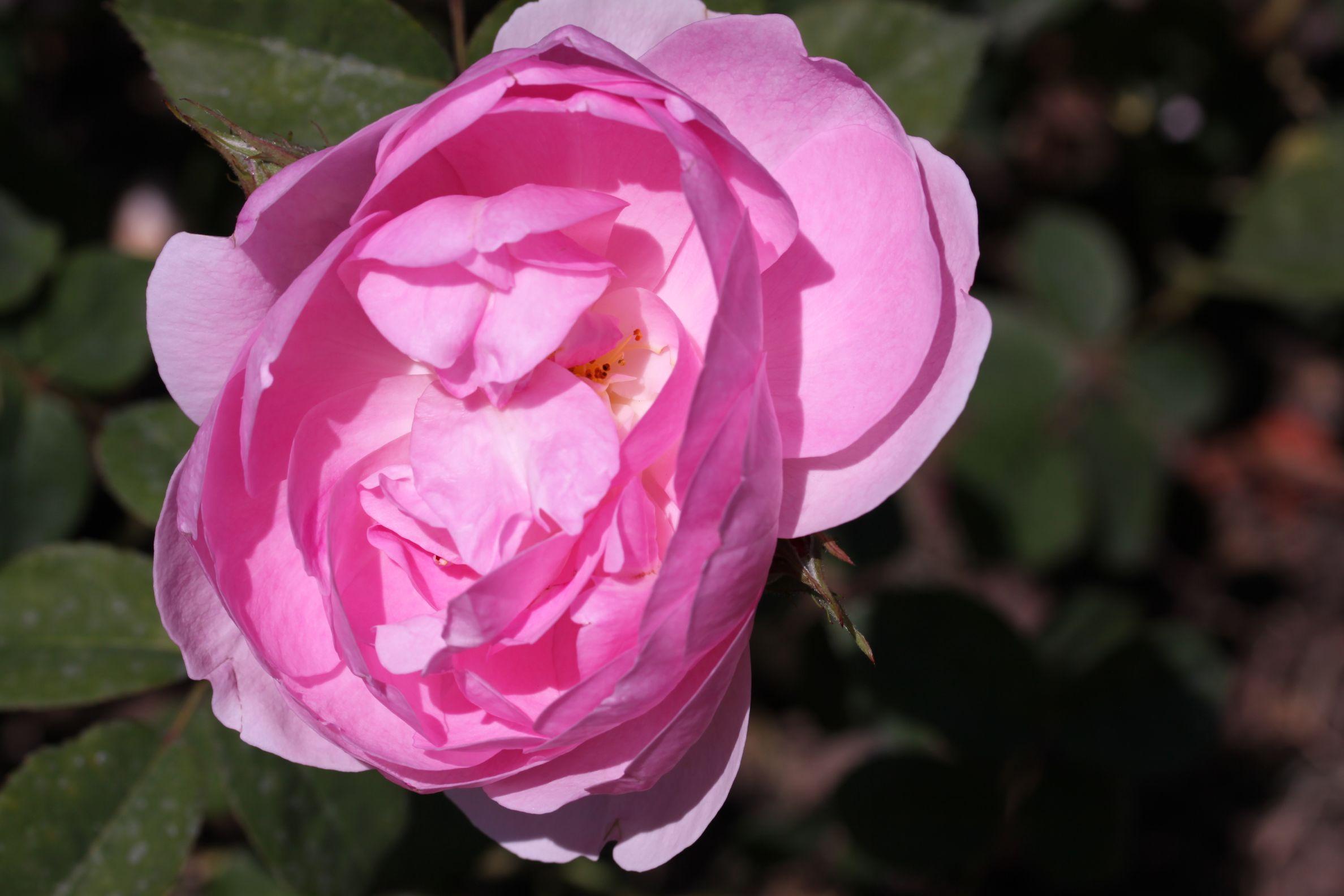 Rose_2019_9.jpg