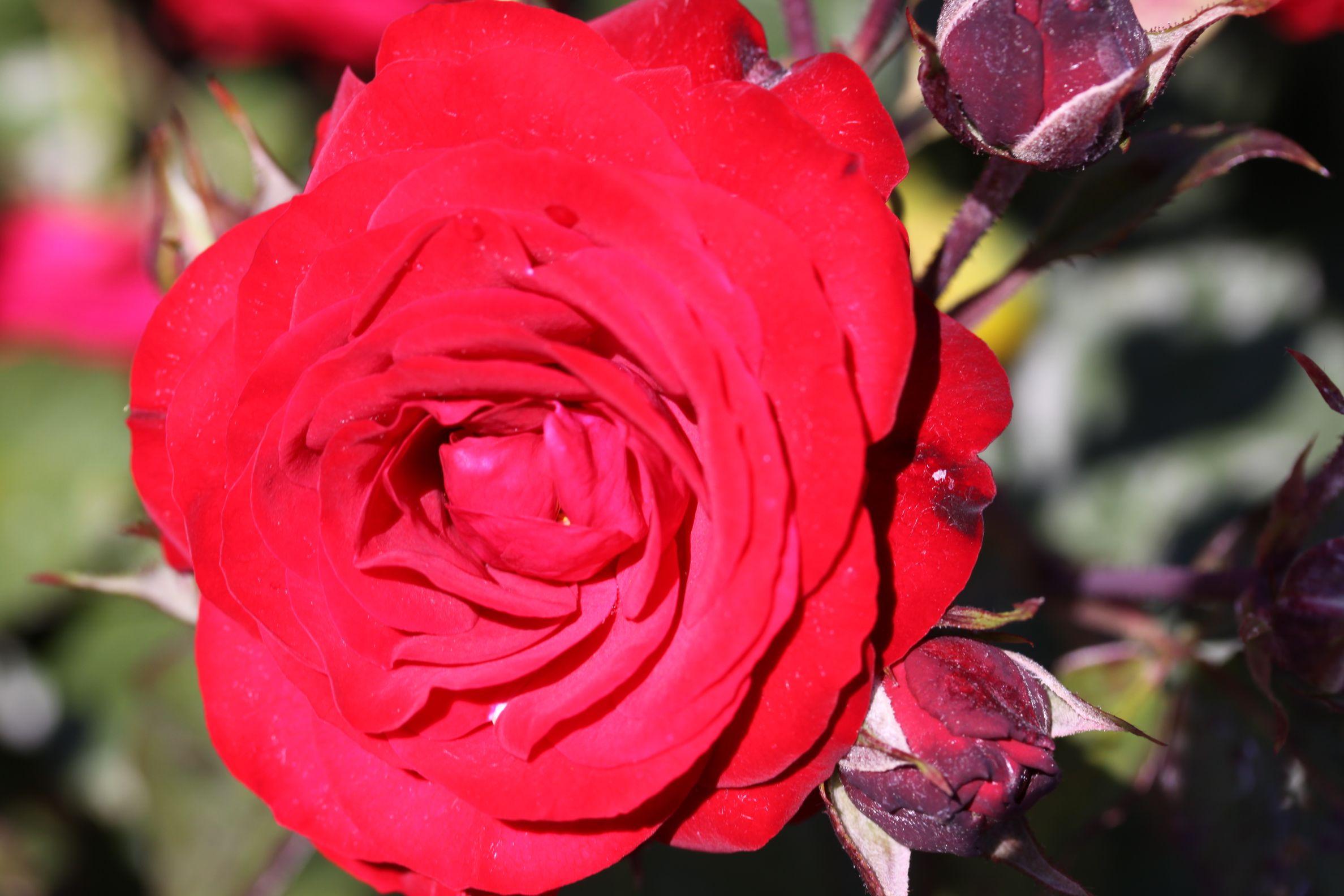 Rose_2019_13.jpg