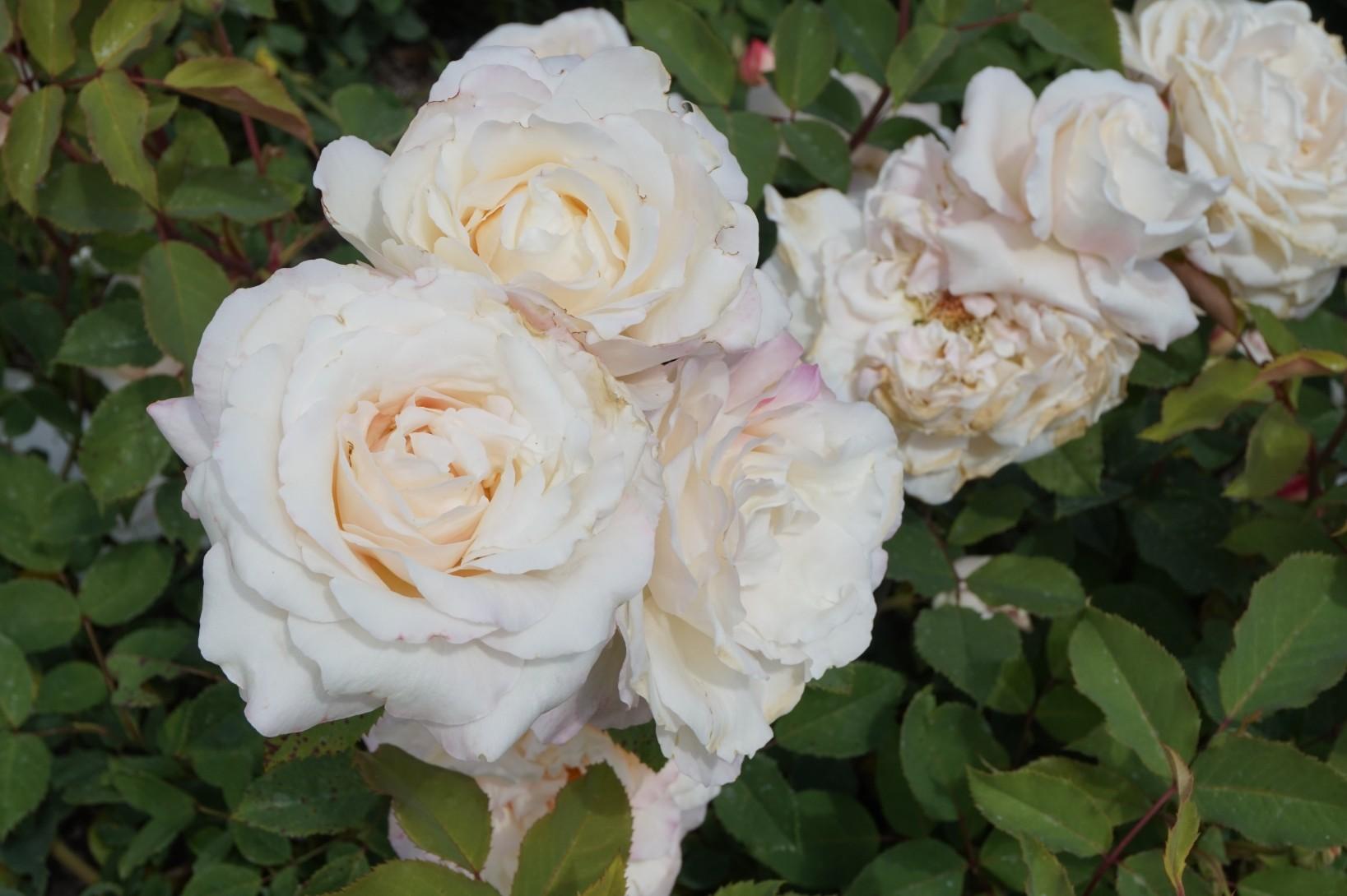 Rose_2018_8.jpg